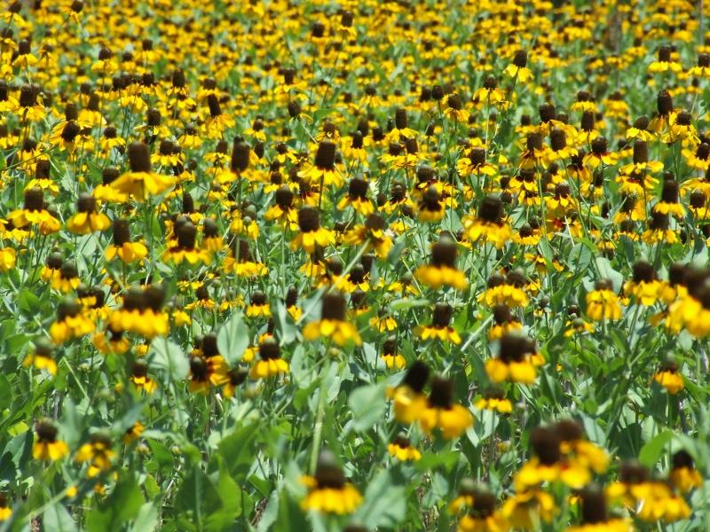 field o flowers