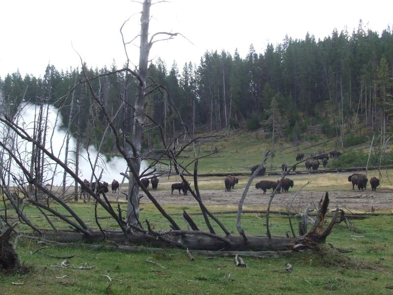 bison behind tree skeleton at edge of time