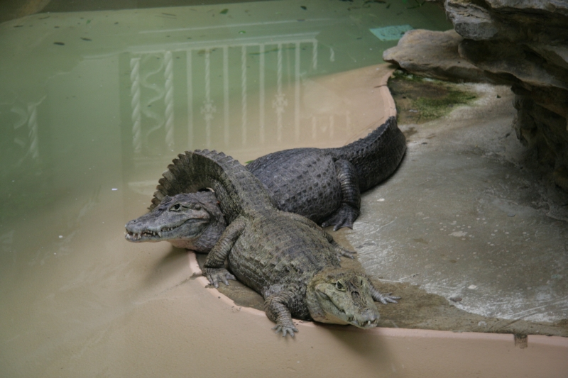 alligator sweathearts