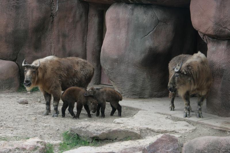 Zoo Ungulates