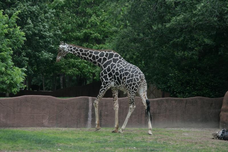 maneating giraffe