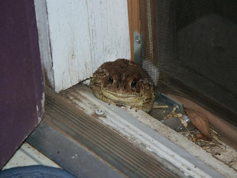 Door Toad